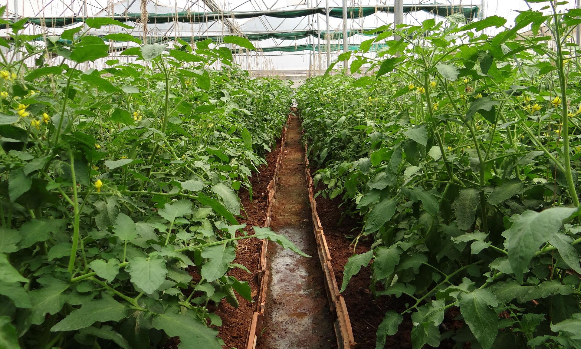 tomato-plants-320663_1920