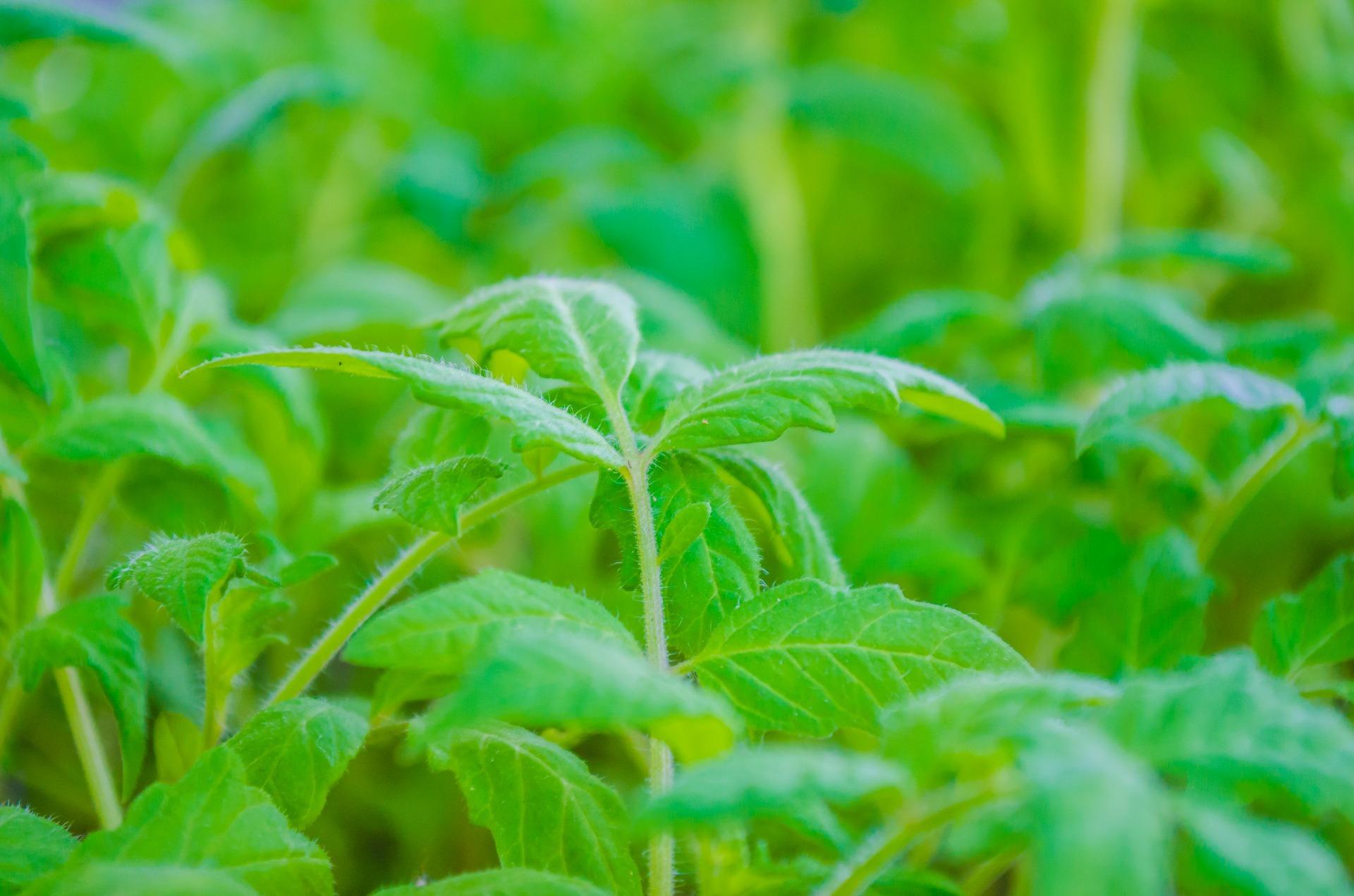 tomato-plants-334392_1920