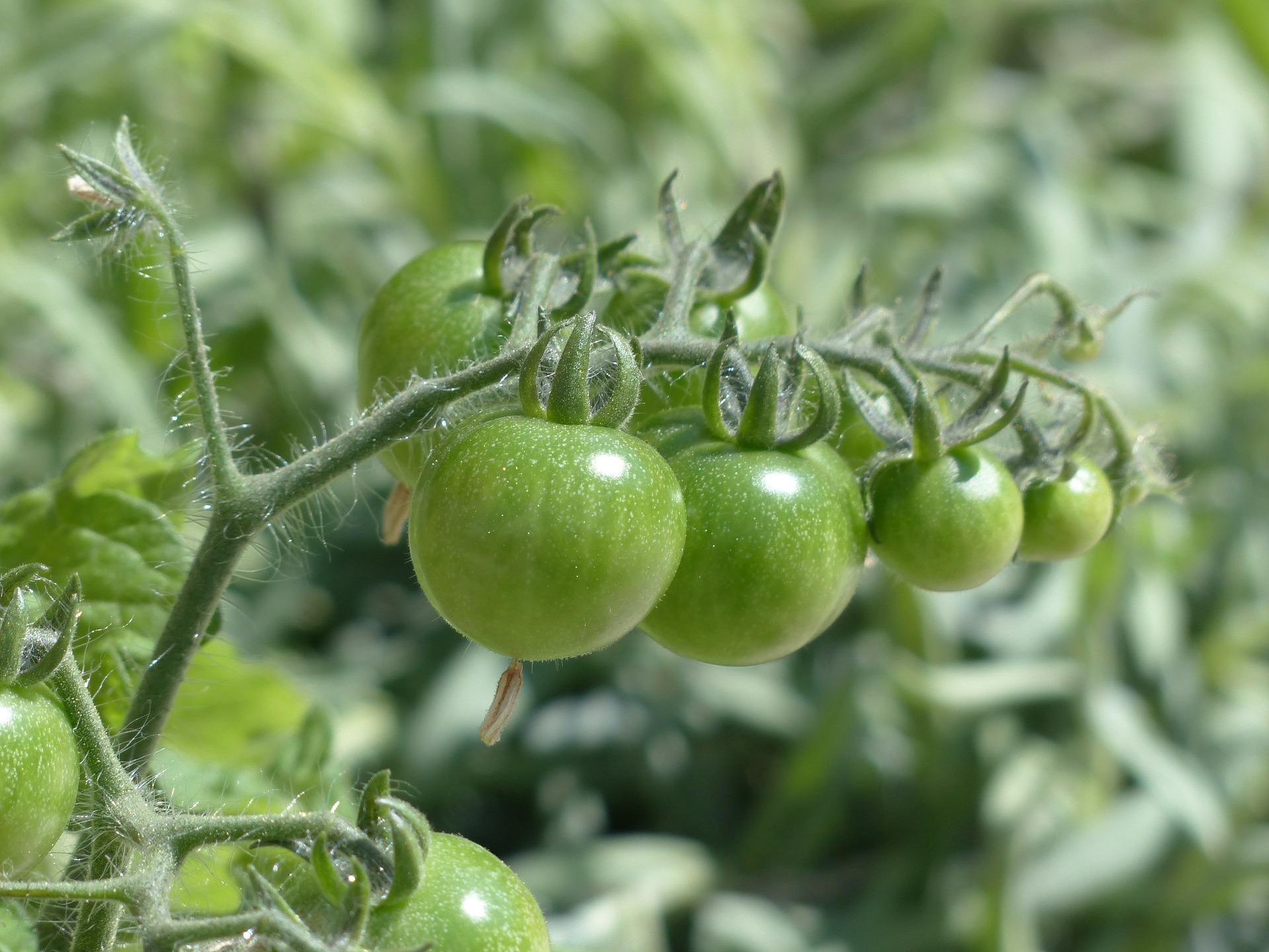 Zapylanie pomidorów – trzmiele naturalna metoda